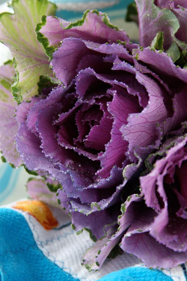 purple-kale-146867556